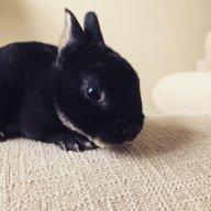 Mini Rex Rabbiters MN